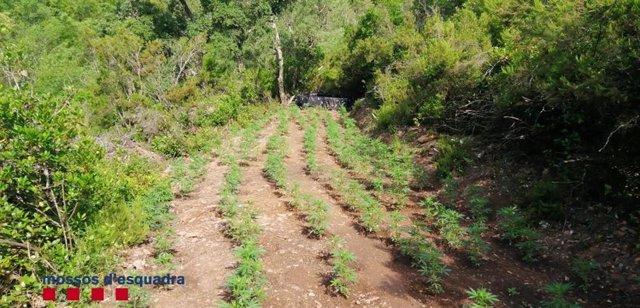 Sucesos.- Cuatro detenidos por cultivar marihuana en medio del bosque en Cruïlle