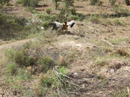 Liberan a un buitre leonado atrapado en una res de vaca en Cumbres Mayores (Huelva)