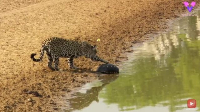 Una tortuga usa su caparazón para protegerse del ataque de un jaguar