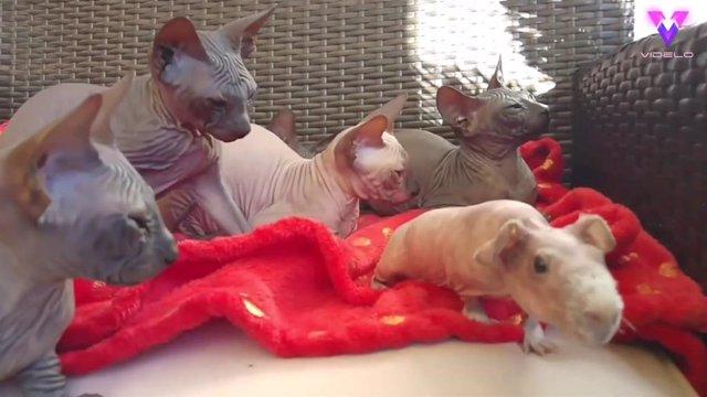 Una cobaya sin pelo es uno más en esta familia de gatos Sphynx