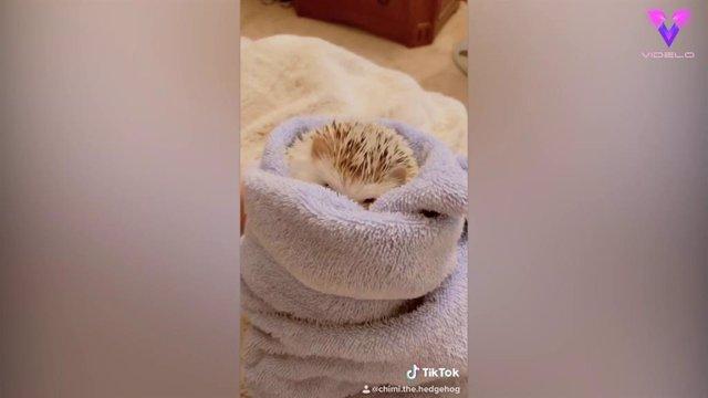 El baño relajante de este erizo es uno de los vídeos más vistos en Tik Tok con más de 9 millones de visualizaciones