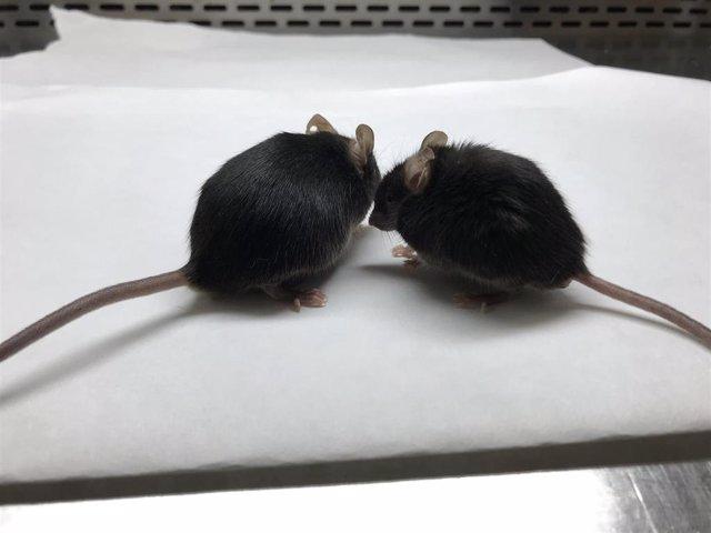 El ratón de la derecha tiene linfocitos T con mitocondria defectuosa, por lo que parece más viejo
