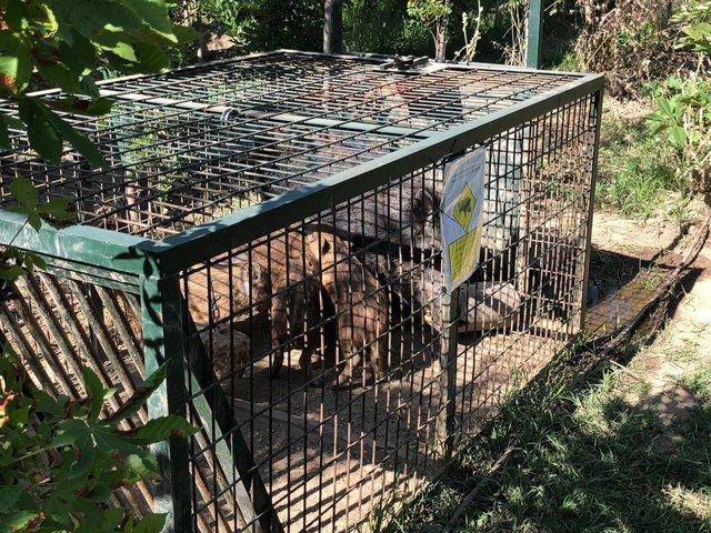 Imagen de una jaula con jabalíes capturados en la Casa de Campo.