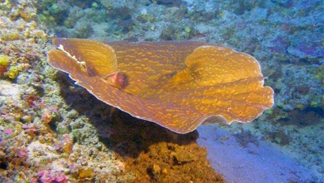 Sorprendente crecimiento en los corales fotosintéticos más profundos