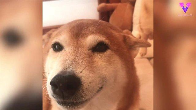La sonrisa de este Shiba Inu al recibir a su dueña es fiel reflejo de la felicidad