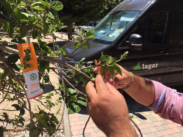 Un técnico de Grupo Lagar coloca una bolsa con insectos depredadores en un arbusto.