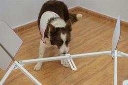 YUCA, perro de CDOC que ayuda en el proyecto del Instituto de Investigación Sanitaria La Fe de Valencia para detectar el cáncer por el olfato.