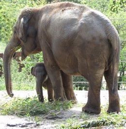 La cría de elefante nacida durante el confinamiento en el Zoo Aquarium de Madrid, Hope