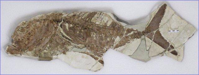 El Museo Arqueológico de Murcia expone un pez fósil de hace unos 5,5 millones de años hallado en un yacimiento de Lorca