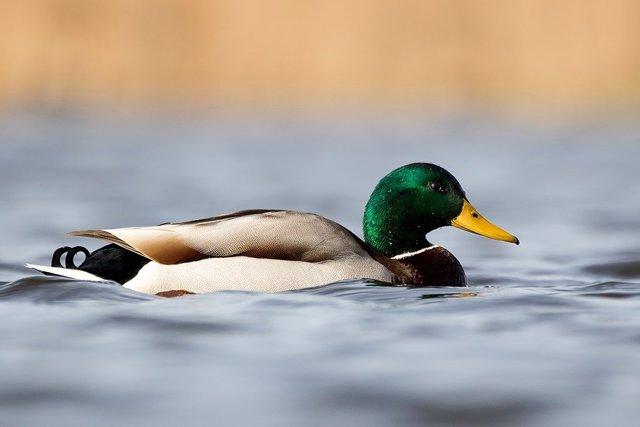 Un estudio con participación del CSIC confirma que las carpas se pueden dispersar a través de las heces de los patos