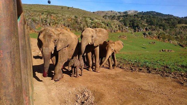 Nueva cría de elefante en Cabárceno