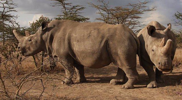 Botsuana.- Botsuana descuerna a unos cien rinocerontes para evitar que sean víct
