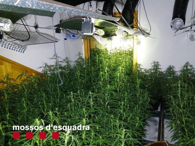 Plantación de marihuana en el interior de un 'mas' en Vilademuls (Girona)