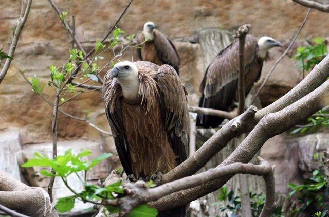 Tres voltors comuns en el Zoo de Barcelona