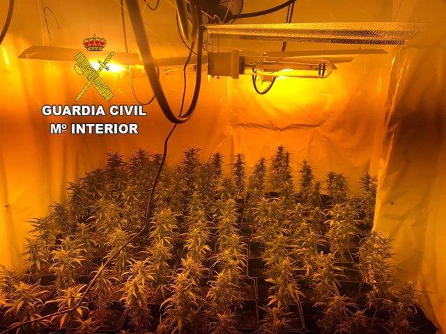 Plantas decomisadas por la Guardia Civil.
