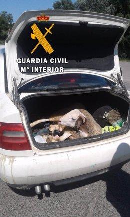 Imagen del cordero dentro del vehículo.