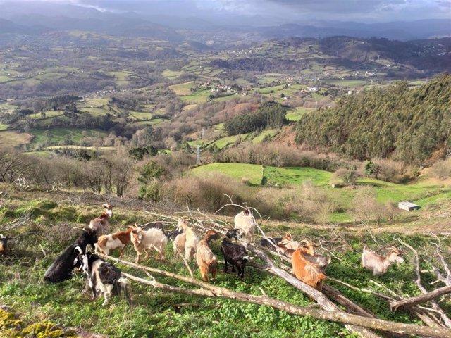 Vistas desde el Monte Naranco, en Oviedo, con cabras pastando, al paso de una ruta de senderismo.
