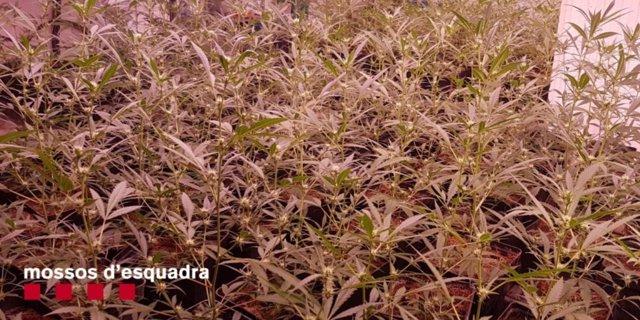 Dispositivo contra el tráfico de marihuana