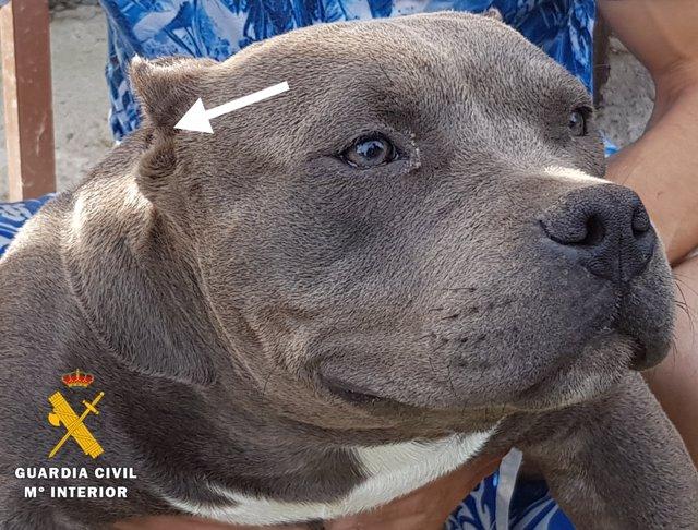 Imagen de uno de los perros de raza American Bully con las orejas mutiladas.