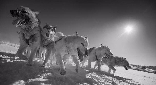 Los perros de trineo, estrechamente relacionados con canes de 9.500 años