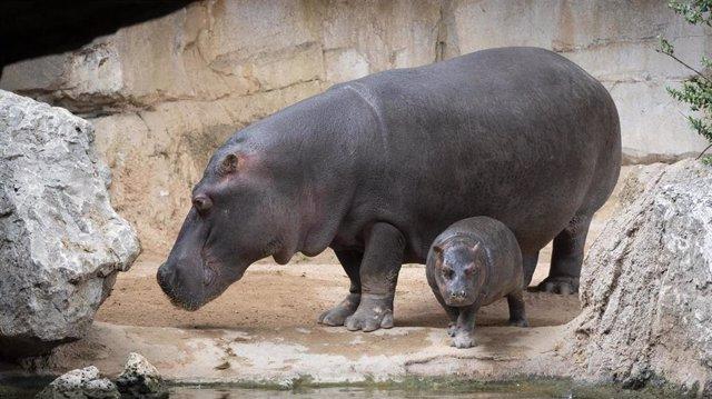Bebé hipopótamo Gori cumple un año