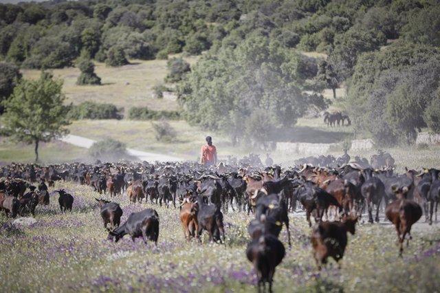 Una pastora camina por el campo junto a un rebaño de cabras de la empresa Suerte Ampanera, dedicada a la explotación racional y ecológica de la tierra y la elaboración de alimentos ecológicos