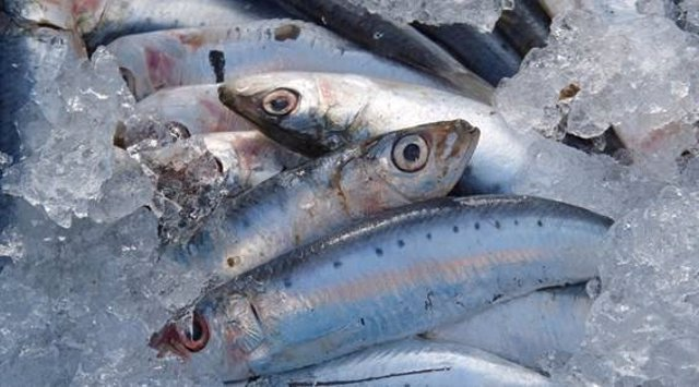 Las sardinas y las anchoas del Mediterráneo tienen microplásticos en sus intestinos.