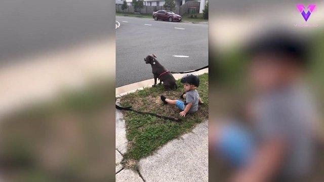 Este niño de 2 años se sienta cuando escucha a sus padres ordenar a los perros que se sienten antes de cruzar la calle