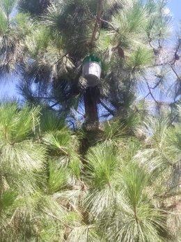 Una de las trampas de feromonas colocadas en pinos de ciudad.