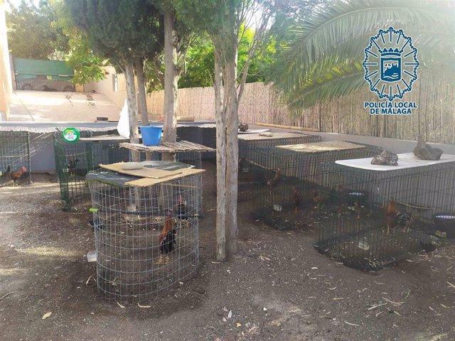Criadero ilegal de gallos de pelea en Málaga