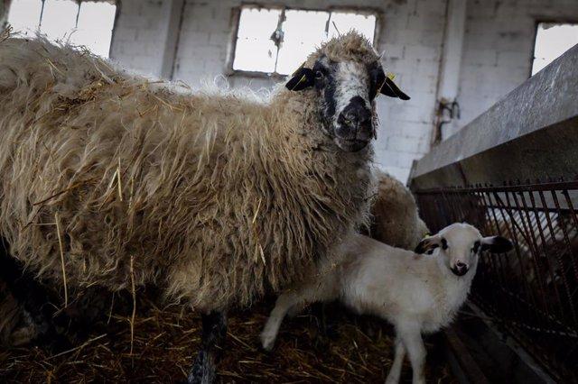 Una oveja en un establo de la empresa ganadera Lechal Colmenar