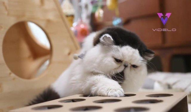 Conoce a Zuu, el gato con tupé que es toda una celebridad en Instagram por su peculiar aspecto