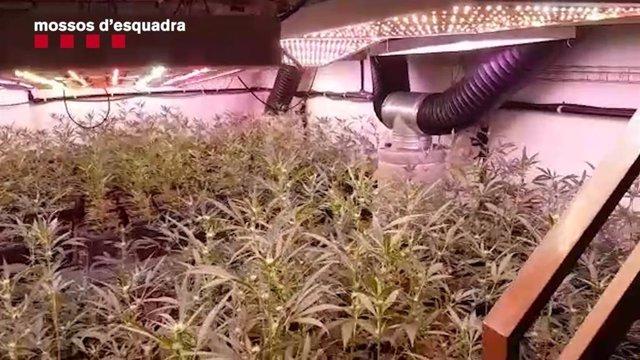 Plantació de marihuana