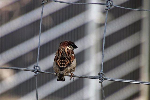 Un gorrión. Imagen de recurso de aves urbanas. Fauna urbana