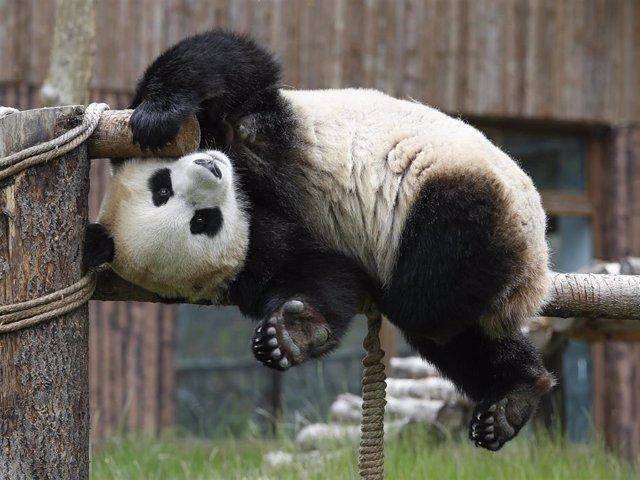 Un panda gigante en la provincia china de Sichuan