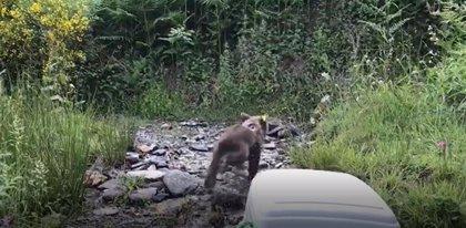 El Principado reintroduce una cría de oso pardo huérfana en Fuentes del Narcea