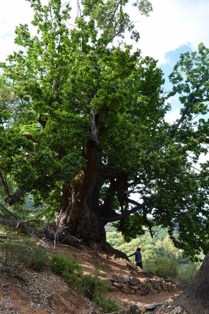 La Junta elabora un convenio para declarar el Castaño Santo de Istán monumento natural de Málaga