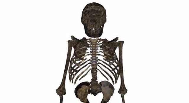 Reconstrucción del esqueleto del 'H.Erectus juvenil' de 1,5 millones de años hallado en Kenia. La caja torácica era más profunda, ancha y corta que en los humanos modernos, lo que sugiere una forma corporal más robusta y un volumen pulmonar mayor
