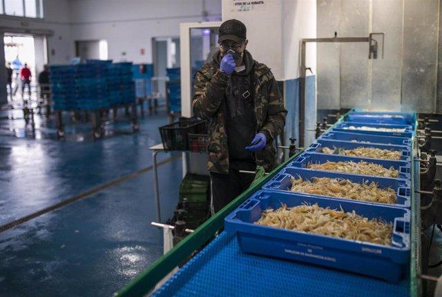 Pescadores colocan el género en una cinta transportadora en la zona de pre subasta. En la lonja pesquera de la Cofradía de Pescadores de Sanlúcar de Barrameda, donde han implantado más seguridad y medidas de protección para poder trabajar de la forma más
