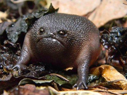 Conoce a la rana negra de lluvia africana, un anfibio oriundo de Sudáfrica que muchos asemejan con un aguacate enfadado