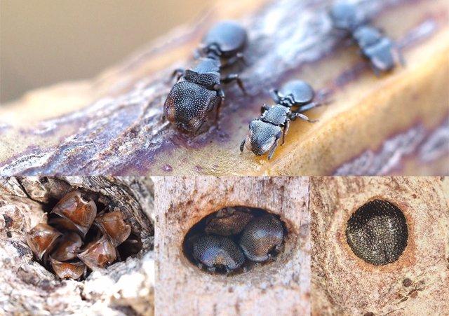 Las hormigas tortuga defienden la entrada de sus nidos con armaduras elaboradas: sus cabezas.