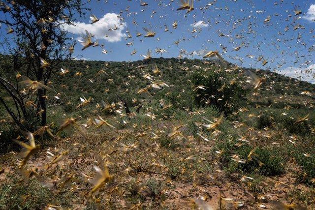 África.- La UE dedica 15 millones para respaldar la lucha contra la plaga de lan