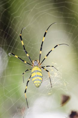 Araña de seda dorada ('Nephila clavipes')
