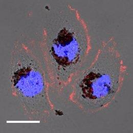 Células humanas tratadas con nanopartículas de selenomelanina.