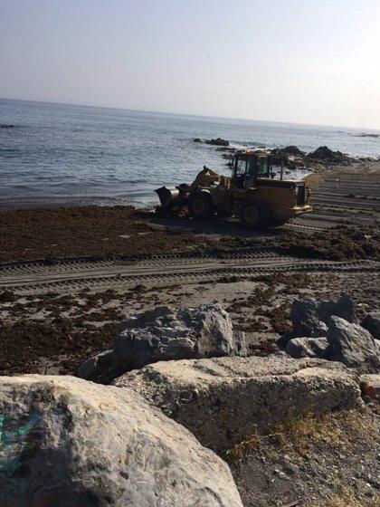 Ceuta aplaude la inclusión del alga asiática que coloniza las playas del Estrecho en el Catálogo de Especies Invasoras