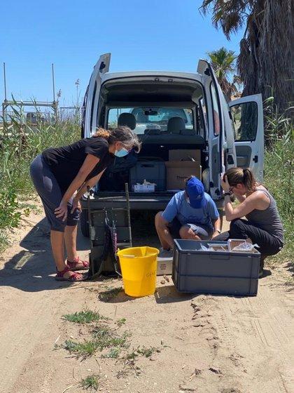 Detectan presencia de rana toro en el Delta de l'Ebre (Tarragona) tras dos años