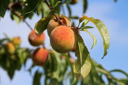 La producción de fruta de hueso cae un 2% en abril, antes de las pérdidas por lluvias y pedriscos