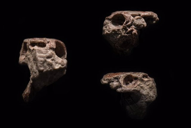 Cráneo fósil de Radotina en vista frontal (izquierda), vista lateral izquierda (derecha, arriba) y vista lateral derecha (derecha, abajo)