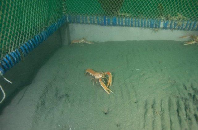 Investigadores del CSIC estudian el comportamiento de las cigalas en un observatorio submarino a 20 metros de profundidad en Galway (Irlanda).