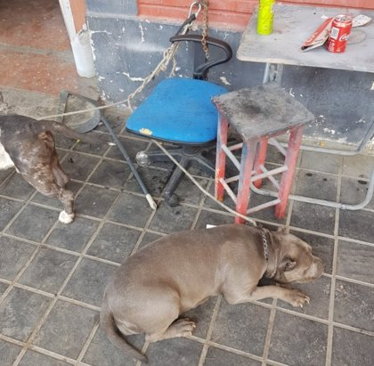 Rescatan a dos perros atados en una planta baja sin comida ni agua y con heridas en todo el cuerpo